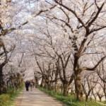 桜が開花もくぜん!お花見のネタに知っておきたい桜のあれこれ